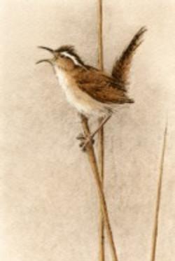 Marsh Wren-Fain, watercolor/etching$495