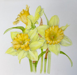 Daffodils-D'Zmura, watercolor 8x8 $195