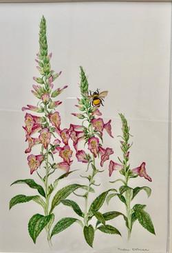 Foxglove-D'Zmura, watercolor 14x18 $650