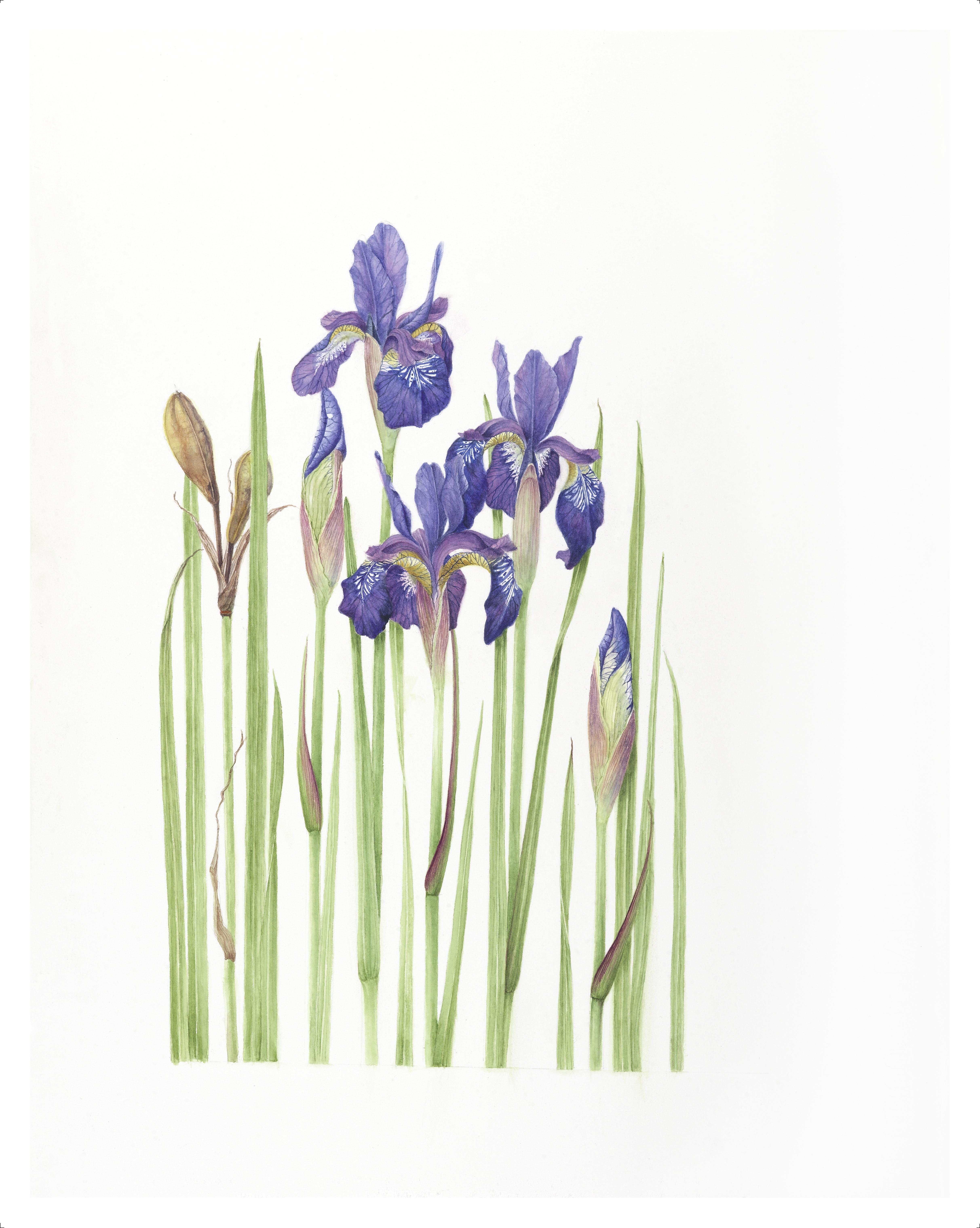 Siberian Iris-D'Zmura giclee 5/10 $145