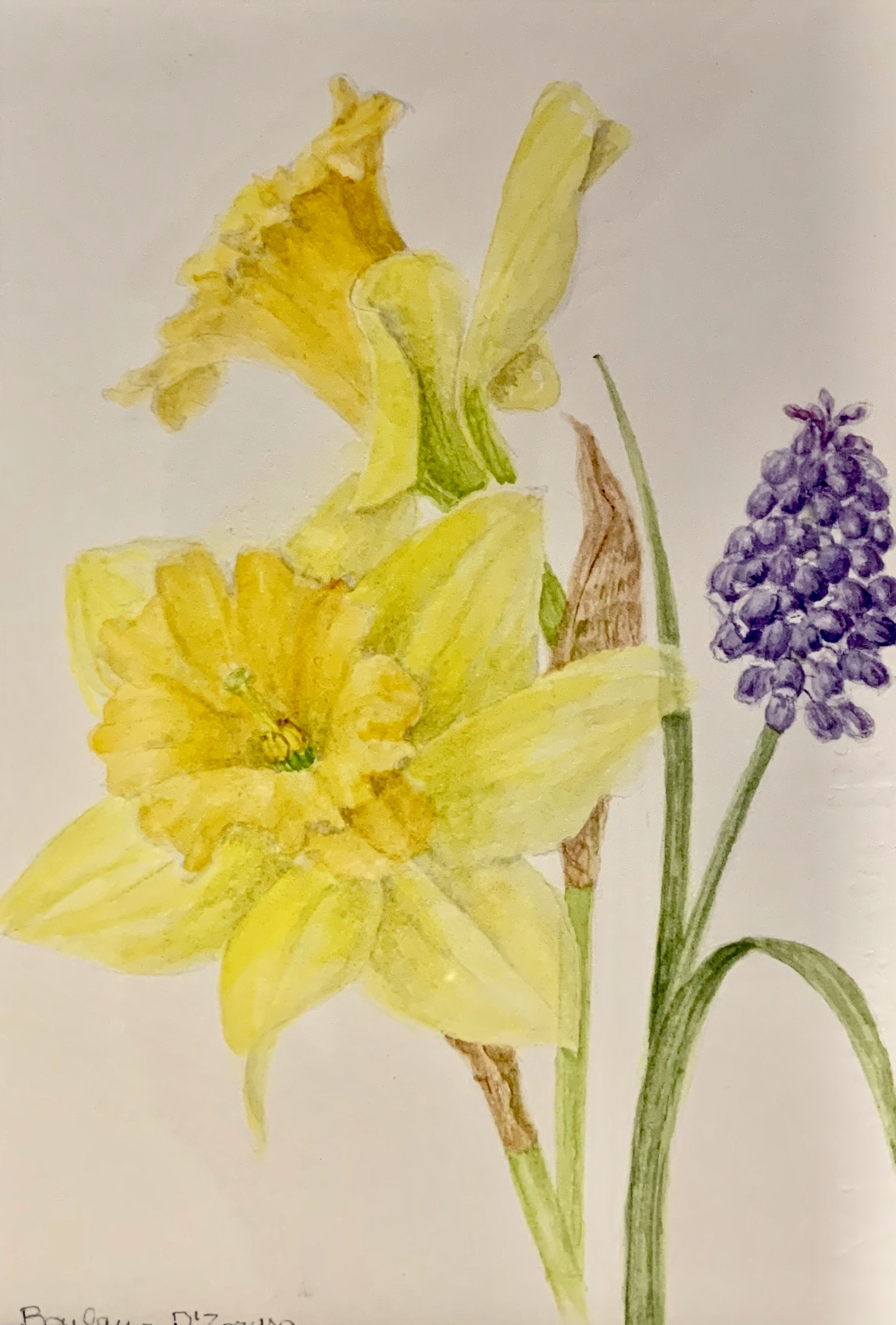 Daffodils and Grape Hyacinths-D'Zmura, watercolor 8x10 $245
