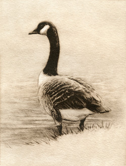 Canada Goose-Fain, watercolor/etching $325