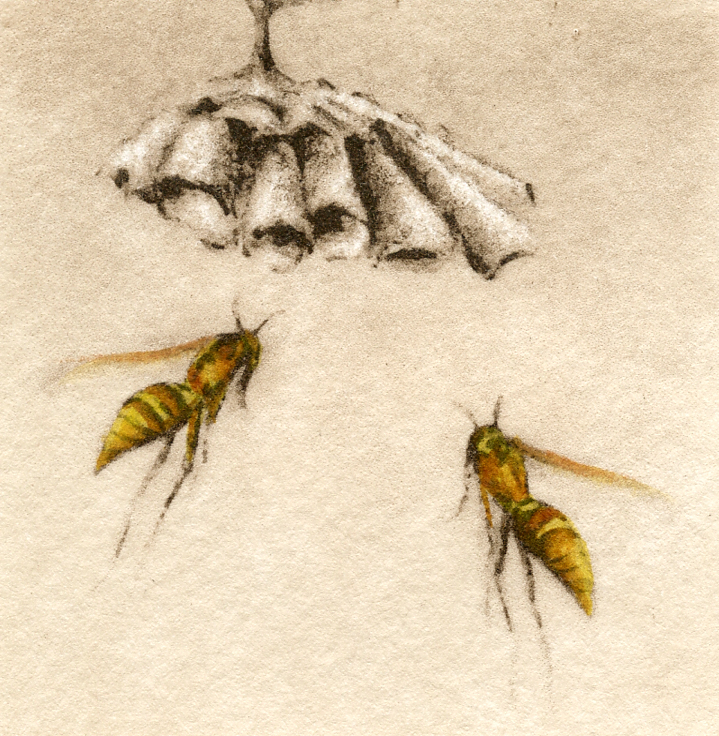 Paper Wasps-Fain, watercolor/etching