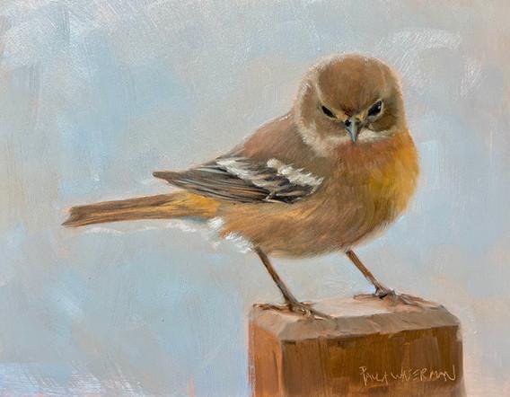 Pine Warbler, oil  6x8 $550