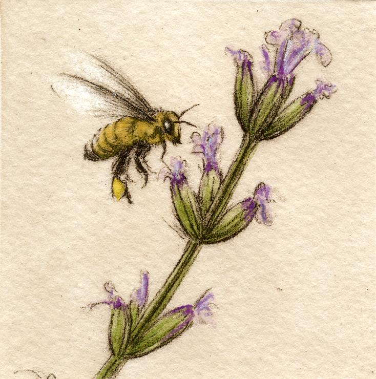 Honey Bee-Fain, watercolor/etching $225
