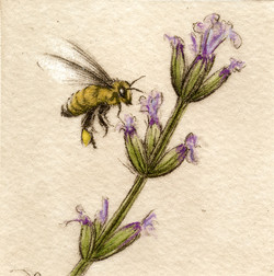Honey Bee-Fain, watercolor/etching $225