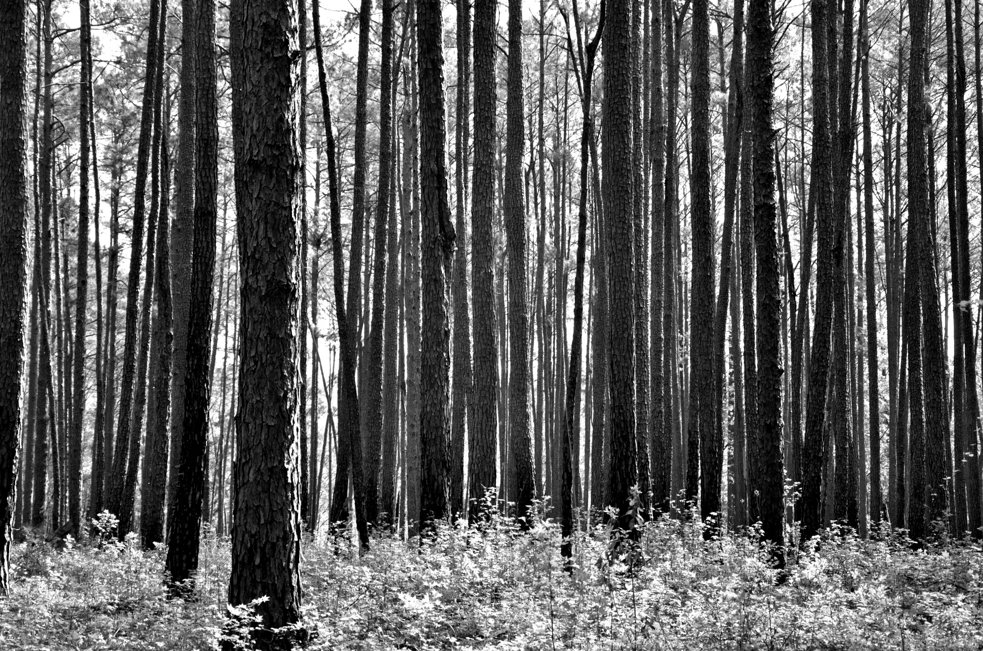 Congaree Pines