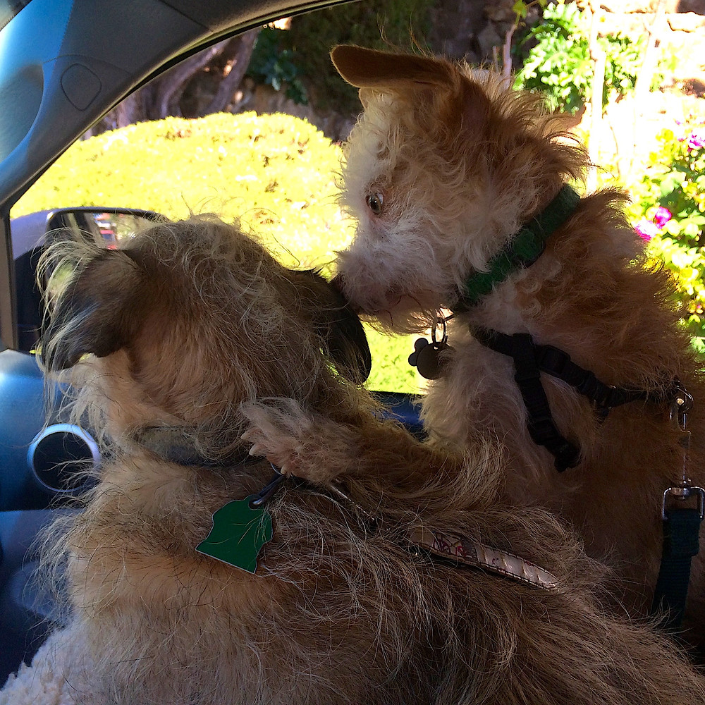 Two dogs, Lilly and Wally, hugging while riding in the car.
