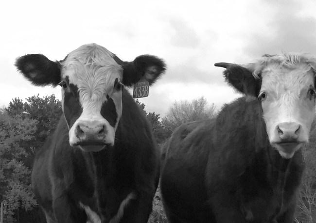 Kearns Farm- Kearns Beef- Newtown- Grass Fed_edited.jpg
