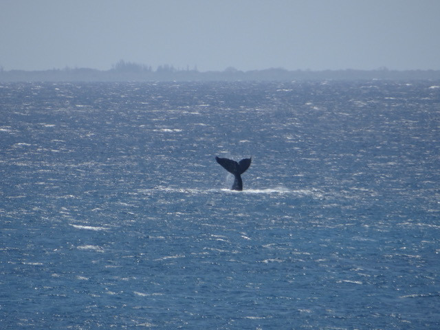 Whales on the Mozambican coast