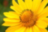 Closeup photo of yellow arnica flower in