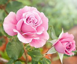 Beautiful pink rose in a garden.jpg