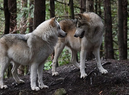 There's an Island Full of Friendly Wolves—and You Can Visit It