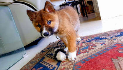 This dog took a DNA test. Turns out he's 100 percent endangered dingo.