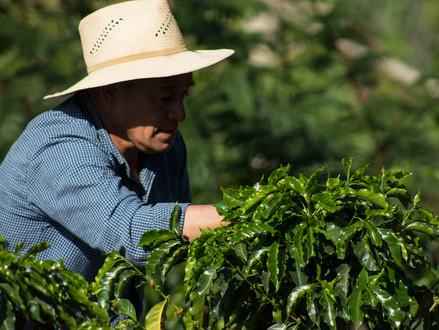14) Honduras Kahvesinin Özellikleri