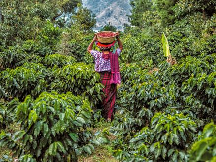 13) Guatemala Kahvesinin Özellikleri