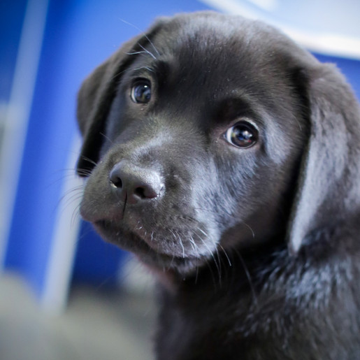 Guide Dogs' urgent appeal for Puppy Raisers in Harrogate, Knaresborough and Ripon