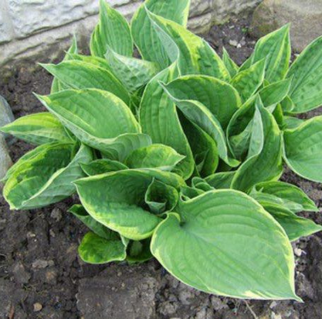 Avoid Hostas in your garden if you have dogs