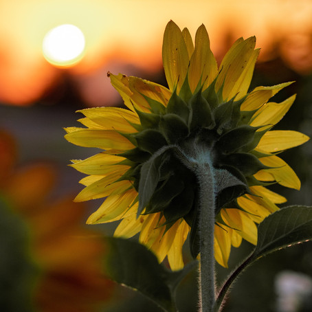 Could you grow the tallest sunflower to win £100 for your school?