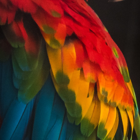 Polly Macaw Parrot