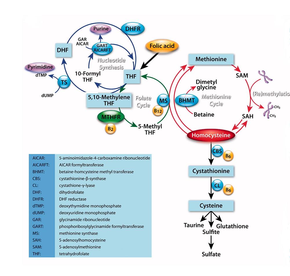 Abb 1: Der Methylierungszyklus (Zhi et al. 2016)