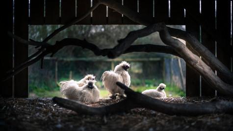 poules-L1001417.jpg