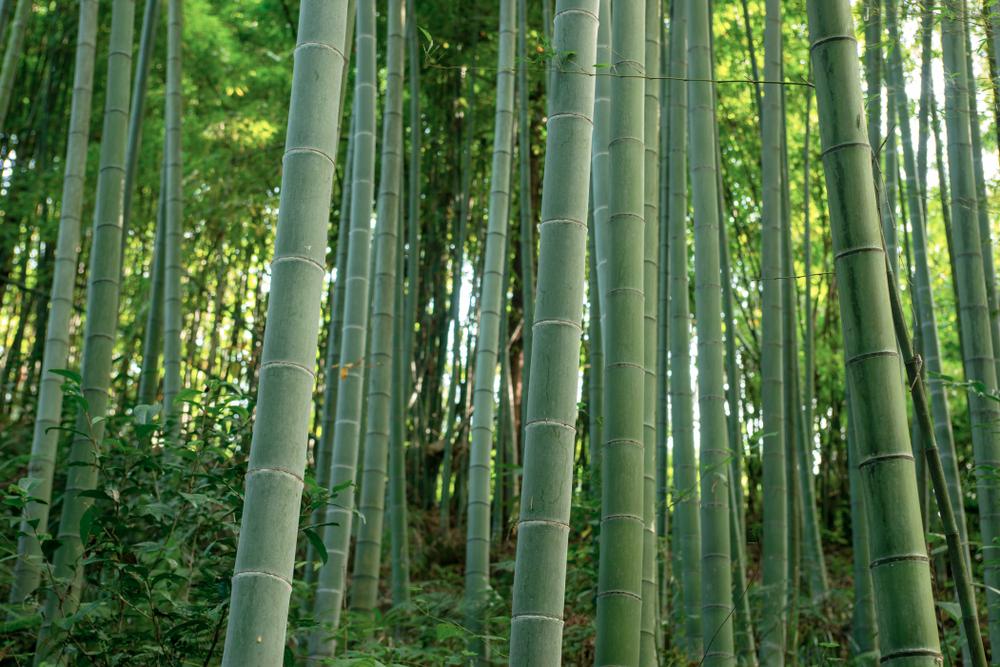 troncs en bambou