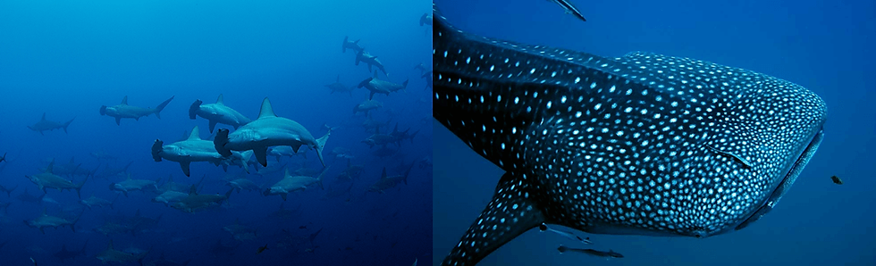 hammerhead+and+whale+shark-1920w-2.png