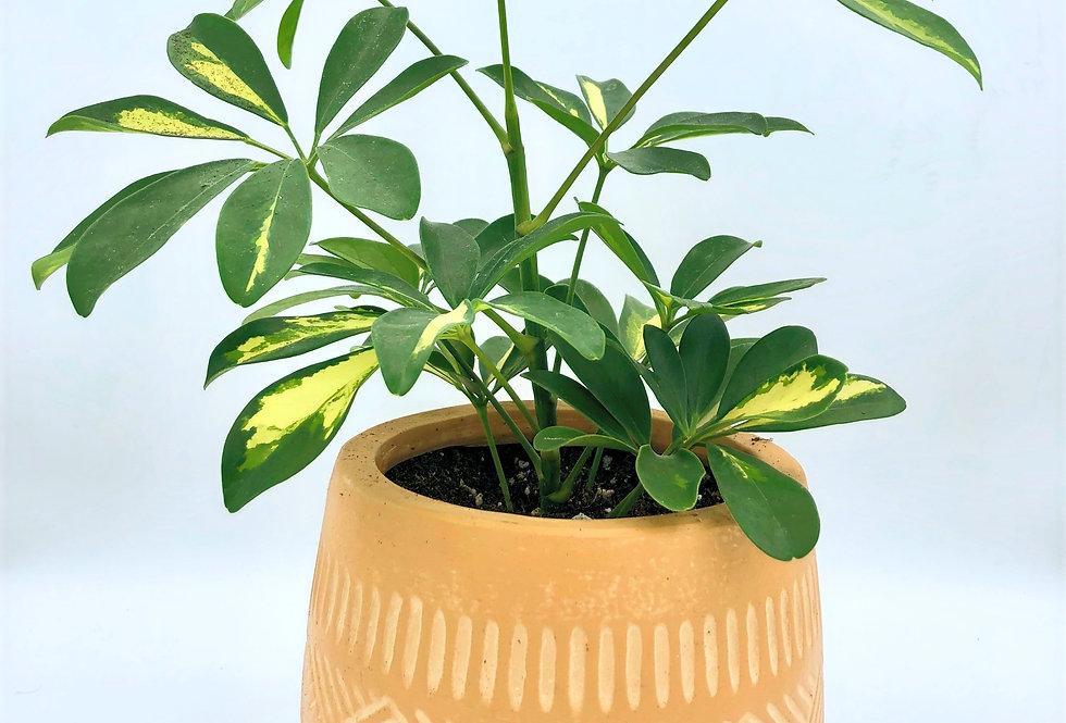 Umbrella Plant In Aztec Mustard