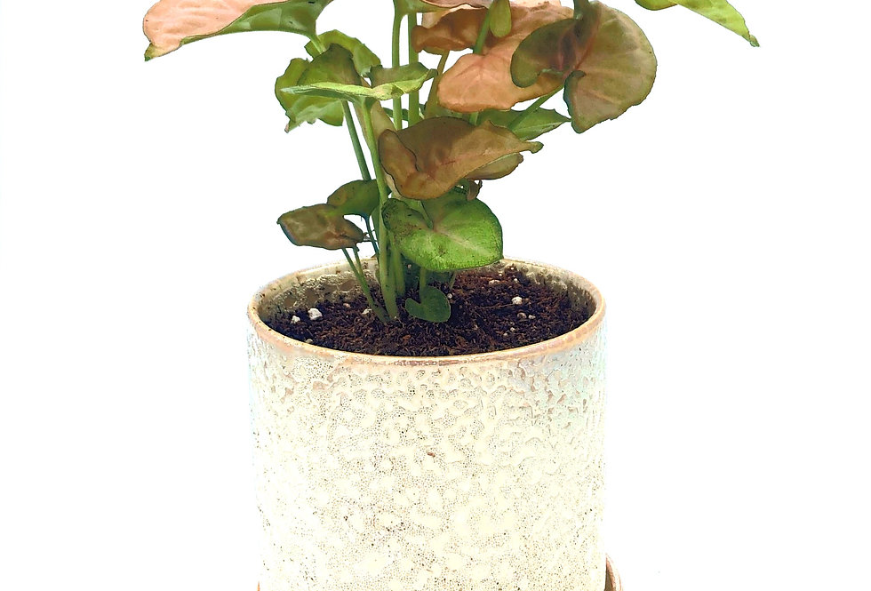 """Tropical Plant (4"""") in Gold Speckle Pot"""