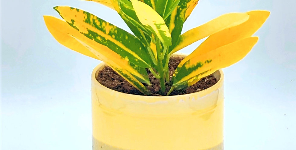 Banana Croton in Cement Yellow