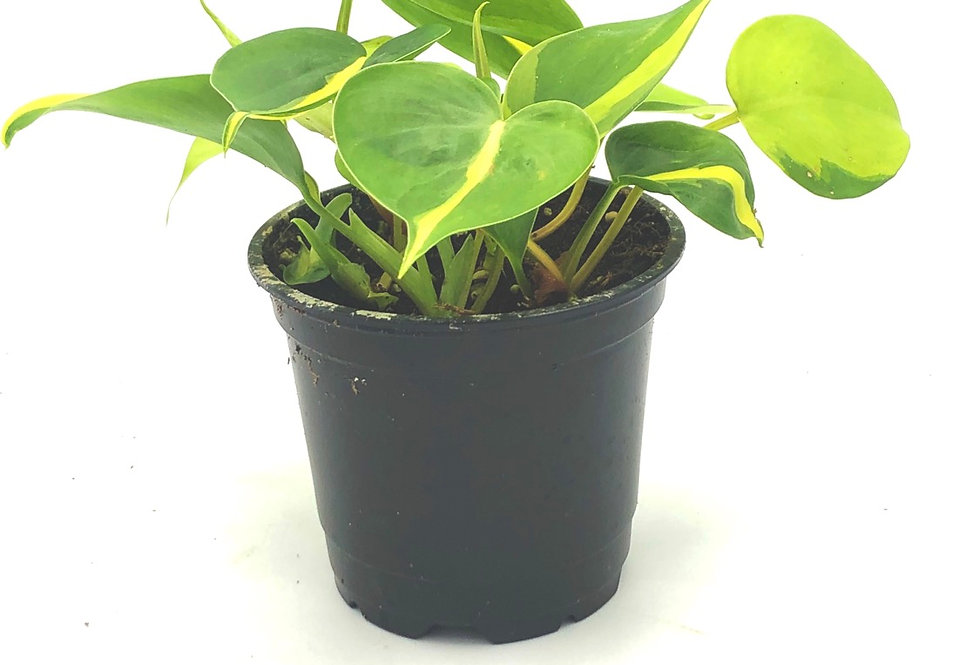 """Philodendron Brazil (4"""")"""