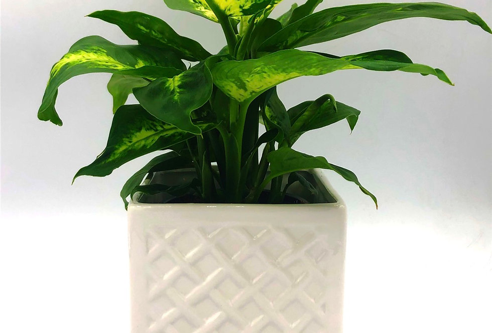 """Tropical Plant (4"""") In Plaid White"""