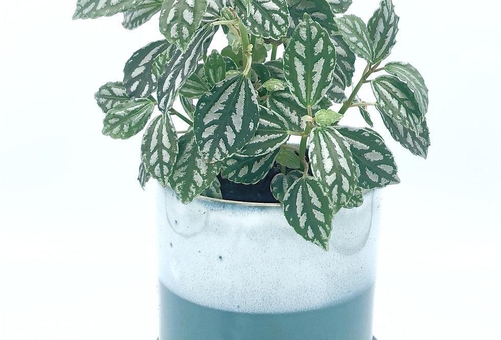 """Tropical Plant (4"""") in Aquamarine Pot"""
