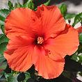 hibiscus-rosa-sinensis-hibisqs-adonicus-