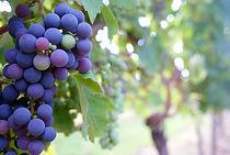 Oregon grape and wine testing developement