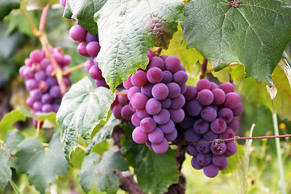 Canva - Several Bunch of Grapes.jpg