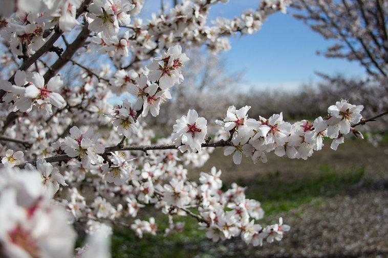 Baugher - almond bloom.jpg