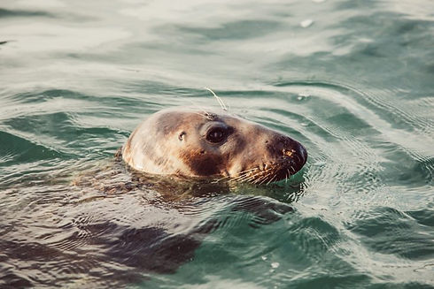 Atlantic grey seal