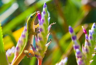 pollinator-gecko.jpg.1000x0_q80_crop-sma