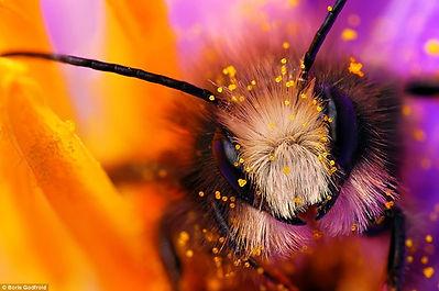 beautiful bee face copy.jpg