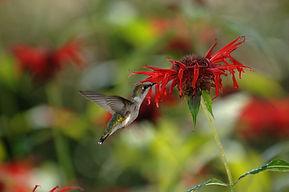 hummingbird bee balm.jpg