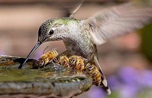 bees humming bird drinking f fountain.jp