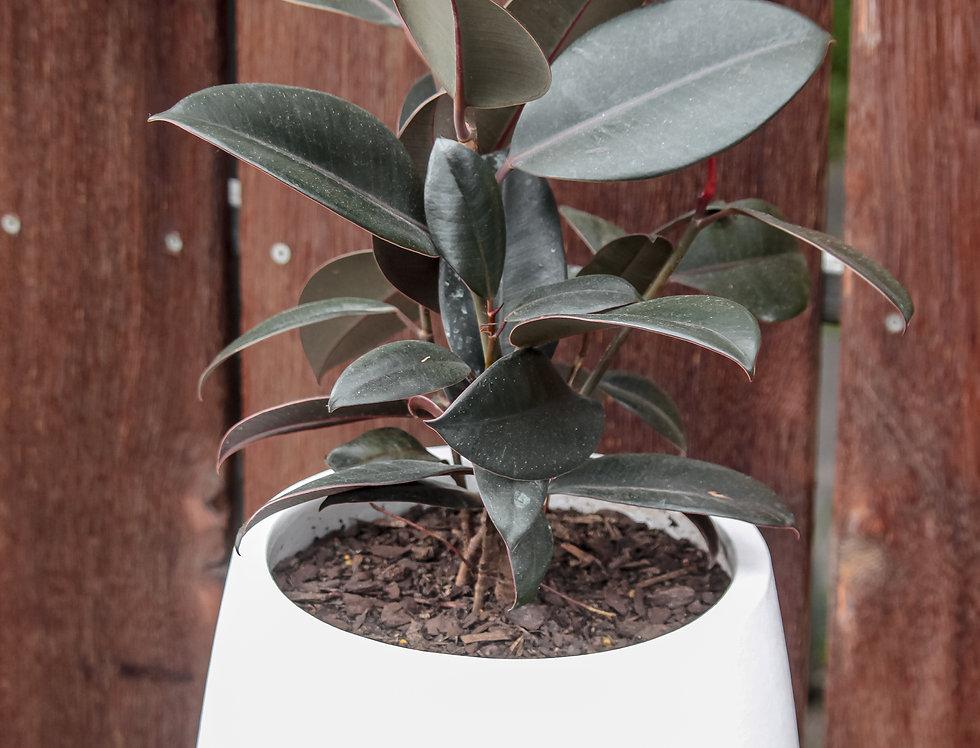 Rubber Plant in white ceramic pot