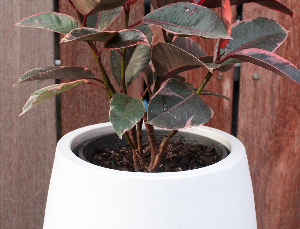 Ficus Elastica Ruby (Rubber plants)