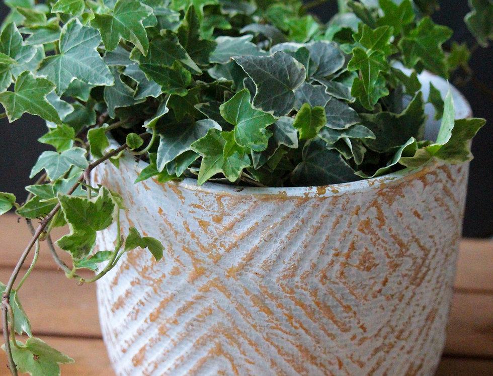 Varigated Ivy (Hedera)