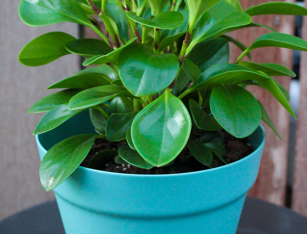Pepperomia (Coloured Pots)