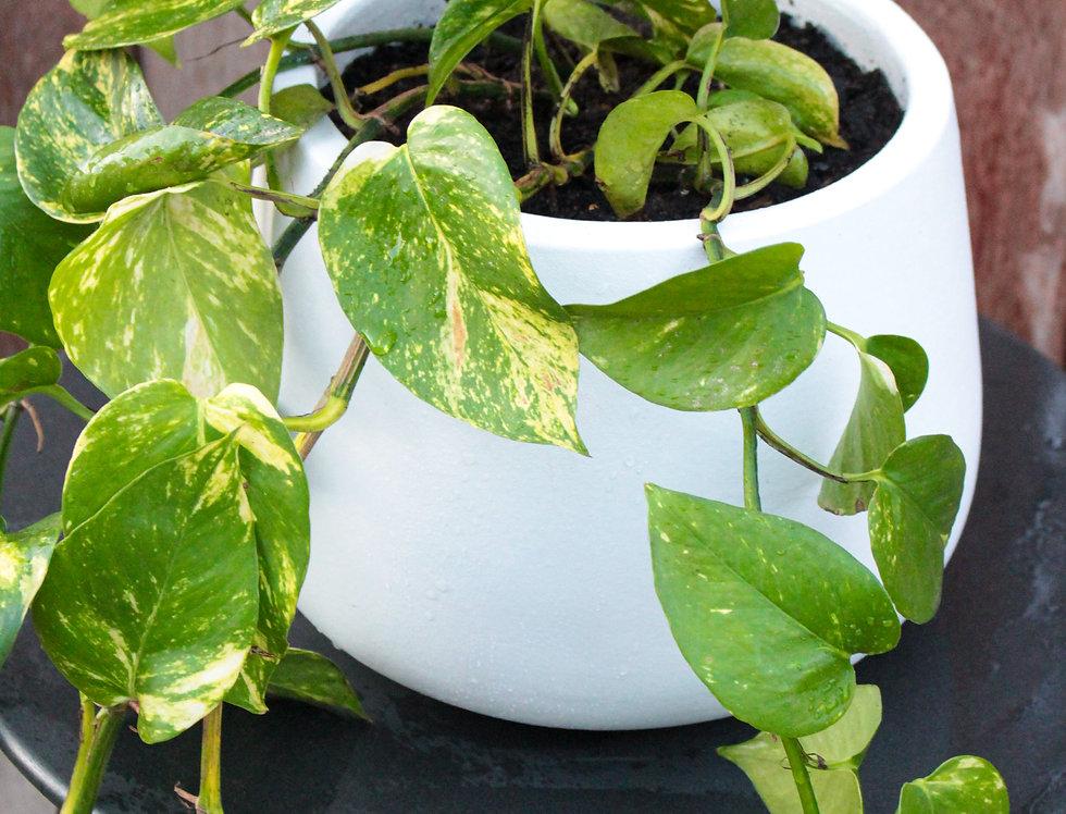 Devil's Ivy (Epipremnum Aureum)