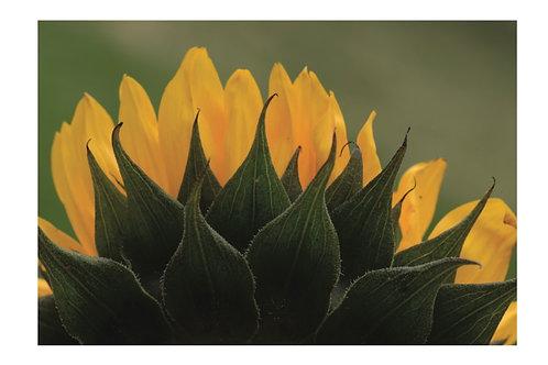 "Jeff Higgs ""Sunflower"" Card"