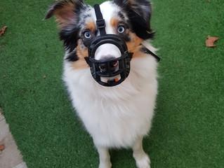 Le chien et la muselière